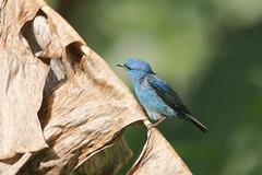 9K0A8987 Blue Dacnis, Dacnis cayana. (jwsteffelaar) Tags: bluedacnis dacniscayana taxonomy:binomial=dacniscayana