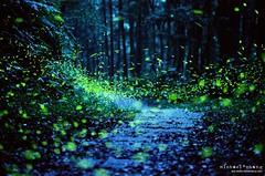 Even The Nights Are Better ([M!chael]) Tags: 火金姑 螢火蟲 nikon f3hp nikkor 5014 ai kodak 500t v3 5219 film manual night moviefilm motionpicturemoviefilm taiwan hsinchu firefly