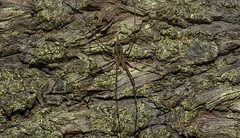 Tamopsis on Hoop Pine (dustaway) Tags: clagiraba coomeravalley sequeensland queensland australia spideronbark arthropoda arachnida araneae araneomorphae hersiliidae tamopsis longspinneretbarkspider araucariaceae araucariacunninghamii hooppine bark