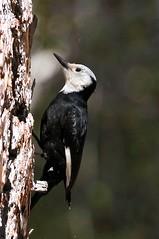 White-headed Woodpecker, f. ~ Picoides albolarvatus (Joyce Waterman) Tags: picidae whiteheaded woodpecker picoides albolarvatus angeles national forest san gabriel mountains monument black white wing patches
