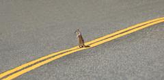 Undecided (alicecahill) Tags: california usa wild road yubapass squirrel mammal ©alicecahill yellowline sierracounty fun animal