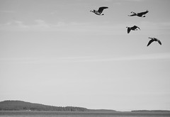 Fly By (rasdiggity) Tags: saltspringisland canada cascadia pacificnorthwest northamerica britishcolumbia birds flight gulfislands ruckleprovincialpark blackandwhite