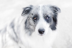 Max (Alessandra Favetto Photography) Tags: dog dogs fur white portrait dogphotography dogphotographer dogportrait pet petphotography petphotographer border collie