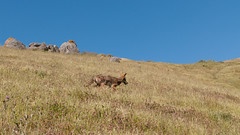 Coyote at Mission Peak (_quintin_) Tags: missionpeak california coyote animal grass fremont