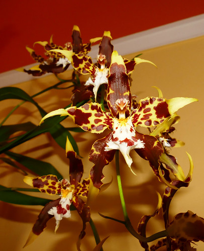 very fragrant, Oncidium hallii orchid species, acquired bare root 7-16, 1st bloom  5-17*