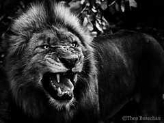 Male lion flehmen grimace (Theo Busschau) Tags: lion malelion wildlife wildlifephotography wilderness wildlifeaction nature naturephotography ngc canon closeup blackandwhite 55250mmstm 70d panthera africa africanwildlife animal southafrica