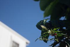 nEO_IMG_DSC03334 (Bryan Shan@) Tags: sony a55 sonya55 tamron tamronsp2448mmf3538 sp 2448mm f3538 model13a flower 花 plant 植物