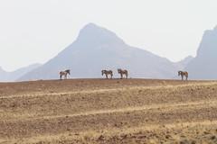 Hartmann's Mountain Zebra, Solitaire, Namibia October 2014 (Sterna999) Tags: roadc26 solitaire hartmannsmountainzebra equuszebrahartmannae landscape namibia südafrika afrika africa mountainzebra bergzebra
