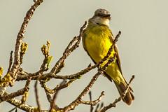 Tropical Kingbird (fotofrysk) Tags: tropicalkingbird tyrannusmelancholicus bird aves hotelelestablo monteverdecloudforest centralamericatrip costarica santaelena monteverde afsnikkor200500mm56eed nikond7100 201702060735