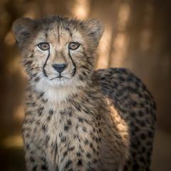 Posed (helenehoffman) Tags: africa mammal baby sandiegozoo cheetah cubs animal animalambassador wildlife conservationstatusvulnerable babies acinonyxjubatus feline bigcat carnivore felidae nature specanimal beautiesbeasts