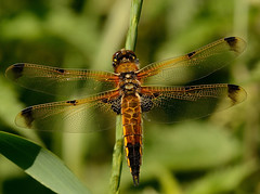 Four Spotted Chaser (Severnrover) Tags: chaser dragonfly four spotted