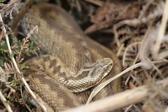 Adder. (ChristianMoss) Tags: reptile snake adder nature photography wildlife photo vipera berus tangle