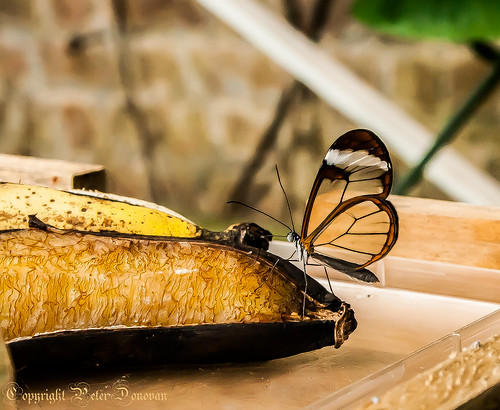 Feeding on Nectar on a Banana