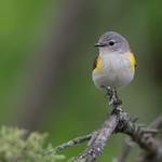 American Redstart (Female) thumbnail