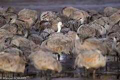 Snow goose amid Sandhill cranes (Manuel ROMARIS) Tags: usa national wildlife reserve bosquedelapache refuge snowgoose sandhillcrane newmexico