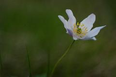 Crowfoot and bokeh (steffos1986) Tags: bokeh flower wild nature macro makro grassland garden domiplan meyergorlitz norway extensiontubesusers prime