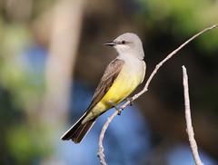 Western Kingbird (fethers1) Tags: rockymountainarsenalnwr rmanwr rmanwrwildlife coloradowildlife bird ngc