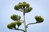 Century (Apfhex) Tags: centuryplant agaveamericana