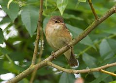 Reed Warbler ( Acrocephalus scirpaceus ) Male (Dale Ayres) Tags: reed warbler acrocephalus scirpaceus male bird nature wildlife