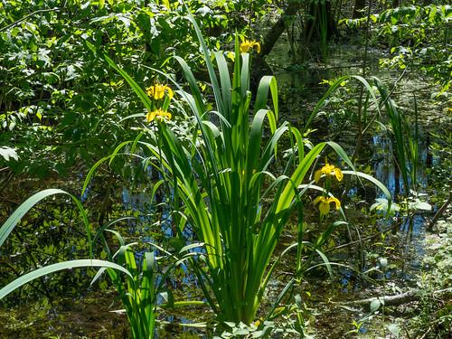 Sumpf-Schwertlilie (Iris pseudacorus) im Weingartener Moor - 170521