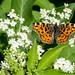 Landkärtchen (Araschnia levana) auf Hollunder - 170521