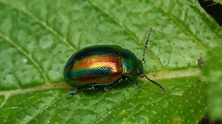 Chrysolina fastuosa (dead-nettle leaf beetle)