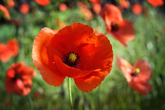 Poppies blowing in the wind (C-Smooth) Tags: poppy wind red poppies flowers seeds green wildnature springbeauty papaveraceae plantae papaveri