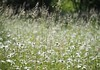 Margeritenwiese (wiebke-e) Tags: meadow wiese margeriten frühling pradera olympus marguerite daisy nature spring
