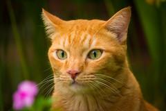 """HALT! HOO GOEZ THAR?"" 😸 (stratman² (busy-taking care of Joey)) Tags: canonphotography eos650d efs55250mmf456isstm catmoments flickrelite cat orangecats kitteh gato neko oreengenesses chat kucing littlejoey kittyschoice cc100 hellopussycat tabby gingercats katzen comel iso2000 kittysuperstar cute feline oreengeness ginger 猫 creativecommons"