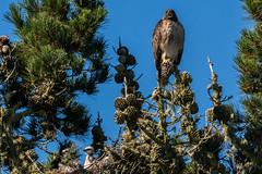 Where's the Food (MelRoseJ) Tags: sanfrancisco california unitedstates nature northerncalifornia goldengatepark birds bayarea a77ii alpha autofocus sonyalpha sal70400g sony sonyilca77m2 redtailedhawk hawk
