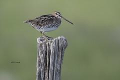 Wilson's Snipe (featherweight2009) Tags: wilsonssnipe gallinagodelicata snipes marshbirds birds