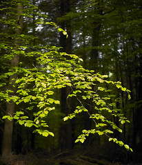 Beech (Man with Red Eyes) Tags: captureone v10 phaseone p45 hasselblad h1 80mmf28hc beaconfell lancashire northwest mediumformat mfd green leaves wood beech spring
