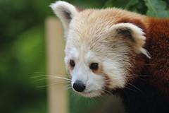 Red Panda (charliejb) Tags: red panda redpanda wildlife mammal 2017 bristolzoo bristol fur furry furred clifton