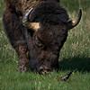 Friendship (judd rook) Tags: bison grandtetonsnationalpark nikkor200500mmed nikond810 tetons wildlife cowbird commensalism
