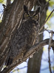 Great Horned Owl - Vernon (DavidGuscottPhotography) Tags: bird greathorned