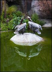 2011-01_DSC_4002_20170426 (Réal Filion) Tags: miami floride étatsunis pélican brun pelecanusoccidentalis zoo animal nature faune environnement oiseau bird brown pelican fauna faun environment wild florida usa