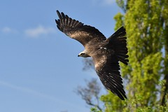 Eagle in the sky! (JerryGoulet) Tags: wildlife outdoors england eagles birdsofprey gauntletbirdsofpreyeagleandvulturepark nikon nature conservationism owl redkit falcon flight