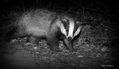 A Bear prowls the UK woods at night. (Alan Woodgate) Tags: wild animal badger
