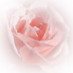 Morning Rose (paulapics2) Tags: pink rose rosa flower flora fleur blümen outdoor morning highkey soft pale pretty gentle dew june macro depthoffield vignette floral nature garden plant canoneos5dmarkiii sigma105mmf28exdgoshsmmacro