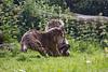 Sister Act 1 (Mel.Rick) Tags: sumatratiger tiger säugetiere natur tiere raubtiere raubkatzen groskatzen pantheratigrissumatrae burgerszoo arnheim