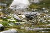 Dipper (juvenile) (Shane Jones) Tags: dipper bird wildlife nature nikon d500 200400vr tc14eii