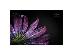 Summer Rain.... (silver/halide) Tags: flower raindrops rain summer waterdrops johnbaker