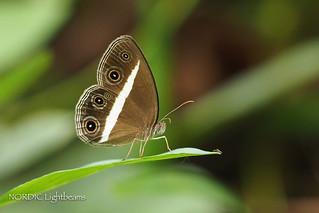 Dark Grass-Brown - Orsotriaena medus mandata