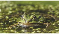 Hello! (Strange Artifact) Tags: olympus em10 markii 60mm f28 mzuiko digital ed frog levenstuinengroot hontschoten