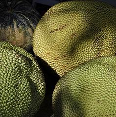 Jack fruit in abundance (jungle mama) Tags: jackfruit cauliflory fruit tropicalfruit fairchildtropicalbotanicgarden artocarpusheterophyllus massivefruit moraceae largestfruitproducedonatree ngc