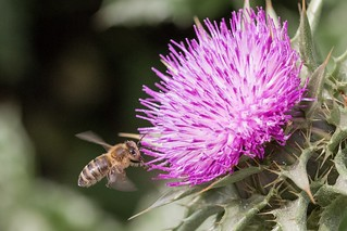 ©419 pollination please Flower Purple Thistle Nature Beauty In Nature Flying Pollination Bee Bees And Flowers Animals In The Wild Blooming Macro_collection Nature Photography Photography Is My Escape From Reality! Nature On Your Doorstep Taking
