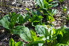 Skunk Cabbage, April 2017 (marylea) Tags: hudsonmills hudsonmillsmetropark apr22 2017 wildflowers plants michigan washtenawcounty marsh bog skunkcabbage symplocarpusfoetidus