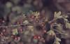 Haws. Minchinghampton Common (pomes). 18 October 1964 (Mary Gillham Archive Project) Tags: 18101964 crataegusmonogyna england hawthorn planttree so8501 13518 1964 gloucestershire minchinhampton