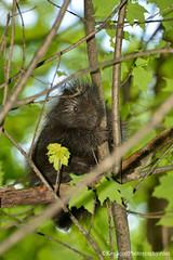 Good Morning ... (Ken Scott) Tags: porcupine baby tree treatfarm leelanau michigan usa 2017 may spring 45thparallel hdr kenscott kenscottphotography kenscottphotographycom freshwater greatlakes lakemichigan sbdnl sleepingbeardunenationallakeshore voted mostbeautifulplaceinamerica