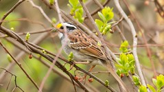 7K8A7467 (rpealit) Tags: scenery wildlife nature hyper humus whitethroated sparrow bird